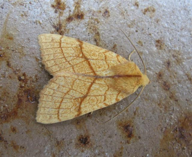Orange Sallow Copyright: Stephen Rolls