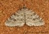 Engrailed Ectropis crepuscularia 2 Copyright: Graham Ekins