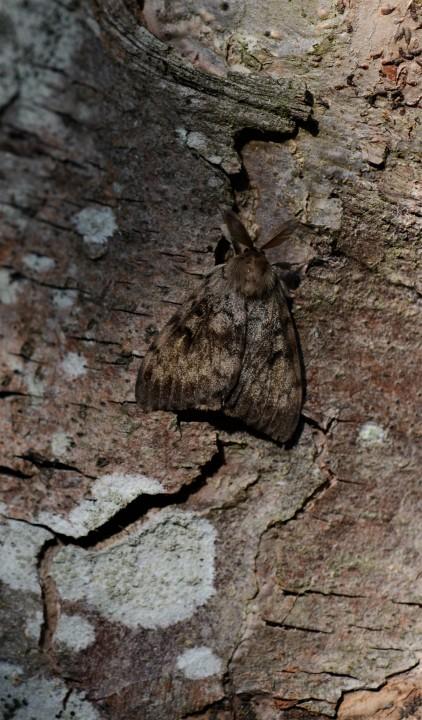 Gypsy Moth 2018 Copyright: Samuel Chamberlin