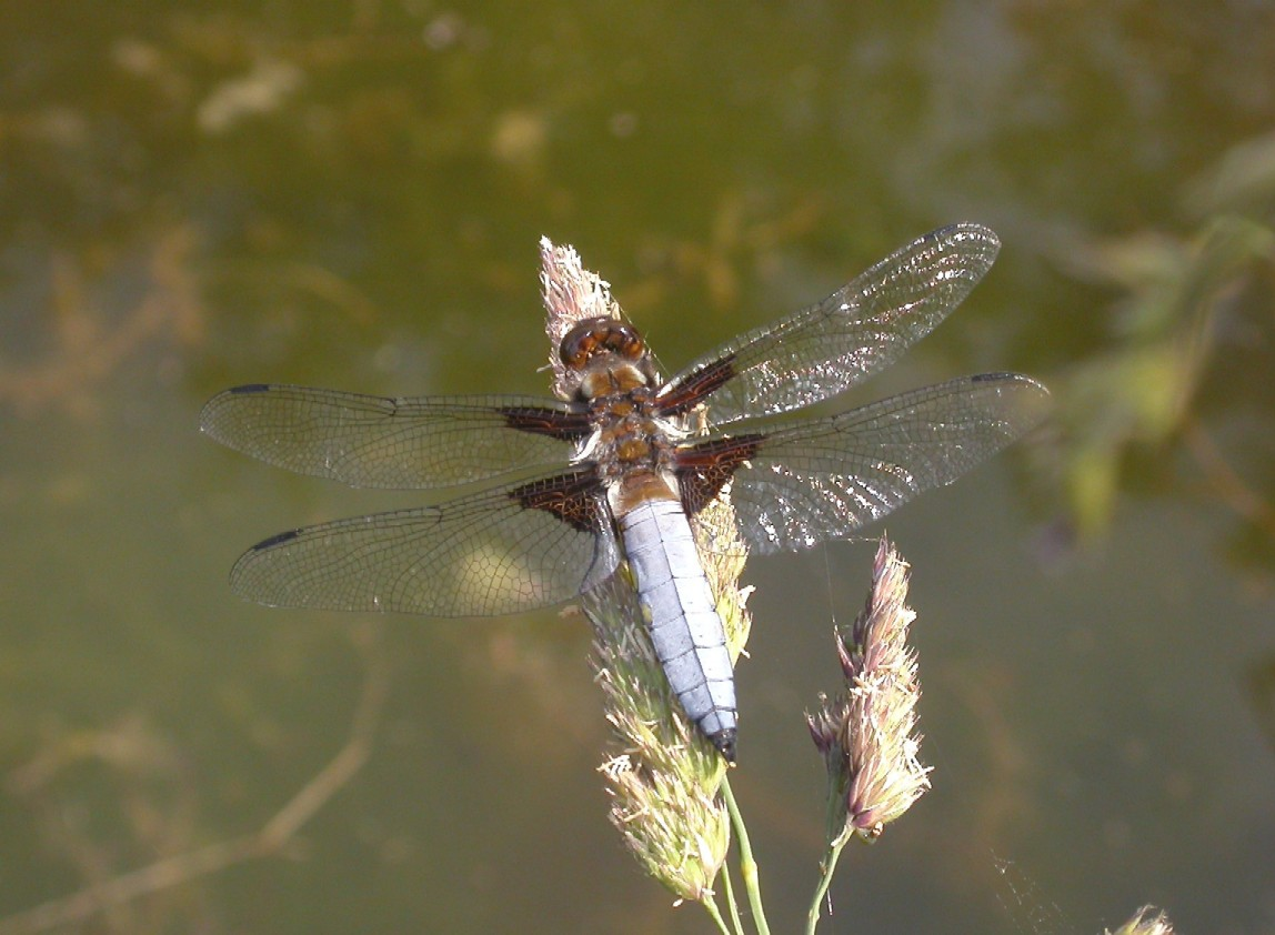 Broad - Bodied Chaser Copyright: Malcolm Riddler