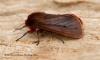 Ruby Tiger  Phragmatobia fuliginosa 3 Copyright: Graham Ekins