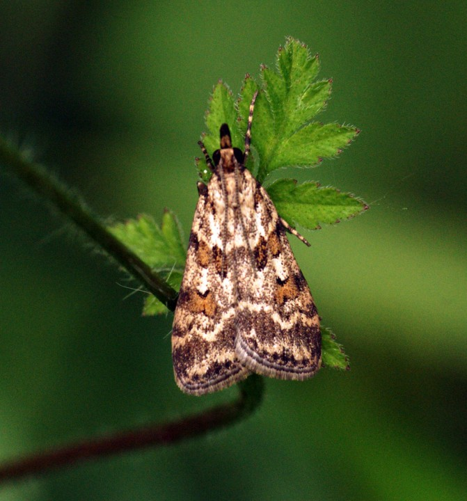 Scoparia pyralella Copyright: Ben Sale