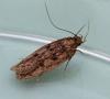 Hofmannophila pseudospretella  (Brown House Moth) Copyright: Graham Ekins