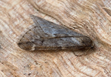 March Moth Alsophila aescularia 2 Copyright: Graham Ekins