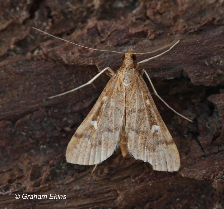 Dolicharthria punctalis 3 Copyright: Graham Ekins