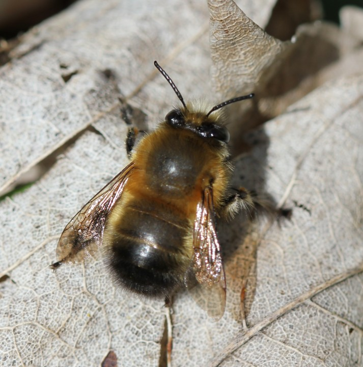 Male Hairy-Footed Flower Bee (Anthophora plumipes) Copyright: RiverCrouchWalker