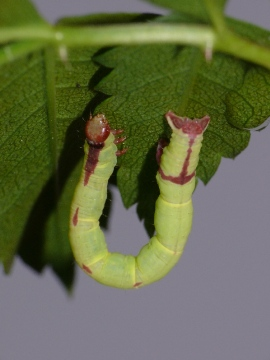 Streamer moth larva 2 Copyright: Peter Furze