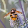 Volucella zonaria 5 Copyright: Graham Ekins