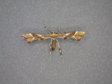 Cnaemidophorus rhododactyla. Copyright: Les Steward.
