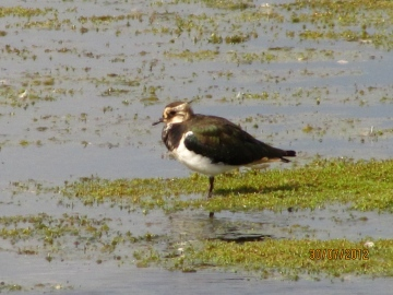 Lapwing Copyright: Graham Smith