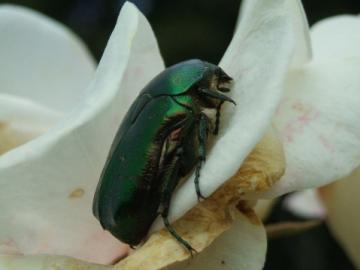 cetonia aurata (rose chafer) Copyright: I.Stone