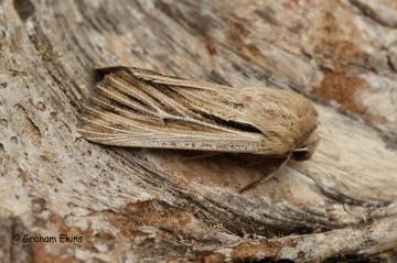 Leucania comma  Shoulder-striped Wainscot 1 Copyright: Graham Ekins