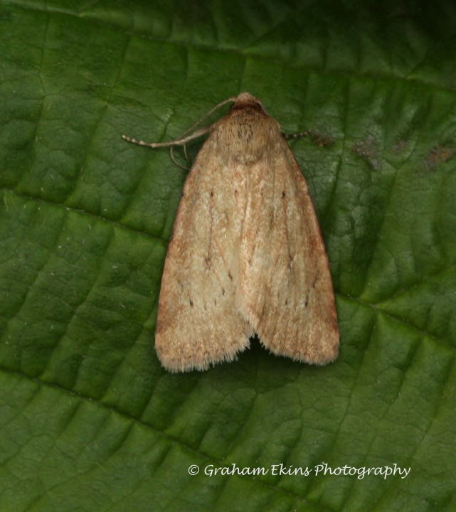 Small Dotted Buff  Photedes minima Copyright: Graham Ekins