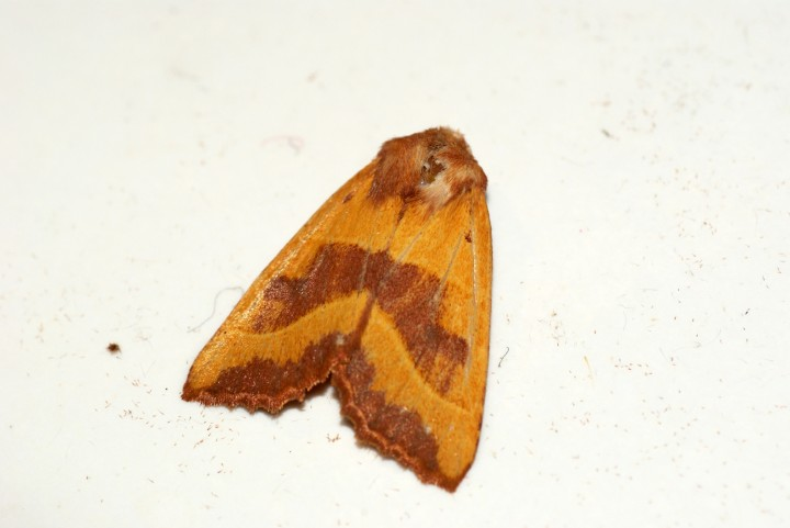 Centre Barred Sallow Copyright: Ben Sale