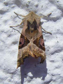 Phlogophora meticulosa Copyright: Martyn Everett