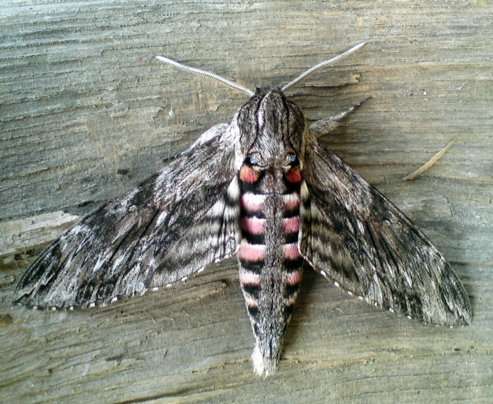 Convolvulus Hawk-Moth 3 Copyright: Ben Sale