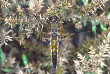 Libellula quadrimaculata Copyright: Peter Harvey