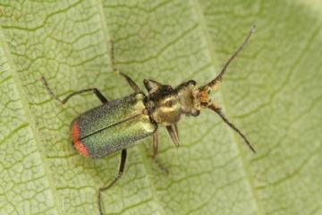 Malachius bipustulatus Copyright: Peter Harvey