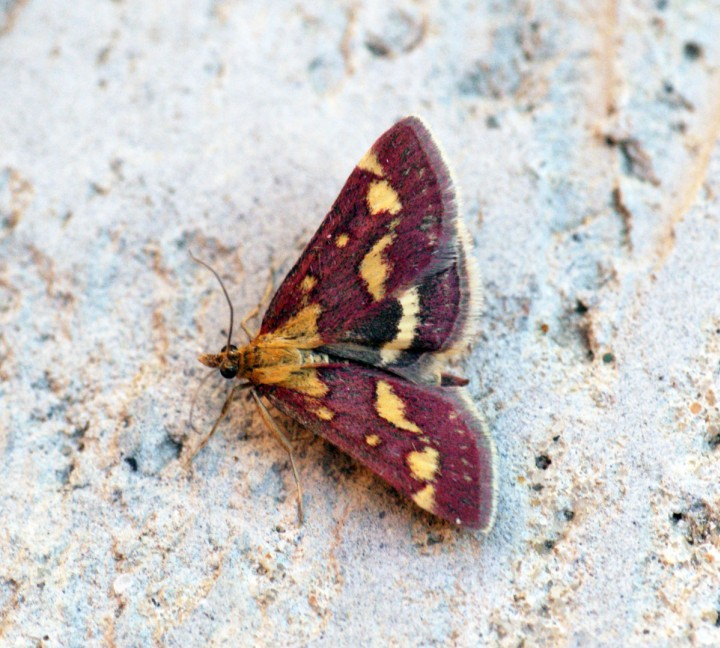 Pyrausta purpuralis 2 Copyright: Ben Sale
