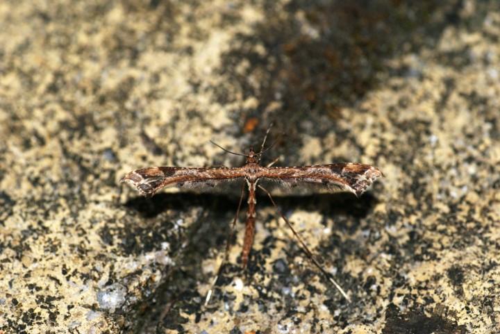 Amblyptilia acanthadactyla 3 Copyright: Ben Sale