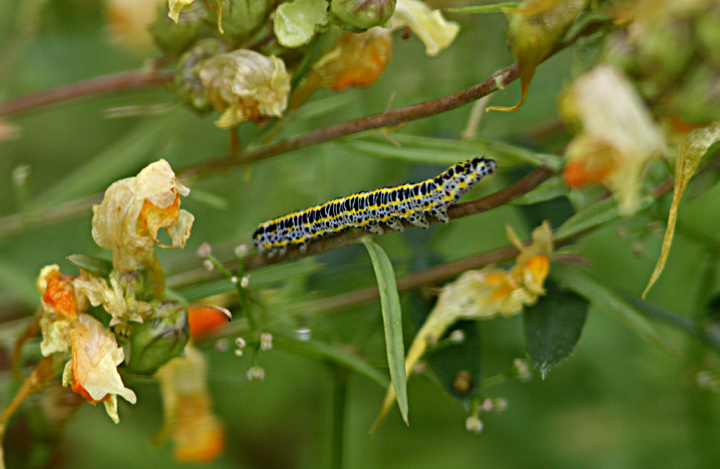 Toadflax Brocade caterpillar Copyright: Pete Merchant