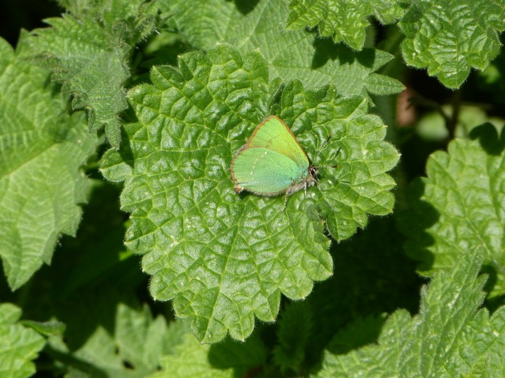 Green Hairstreak 2 Copyright: Stephen Rolls