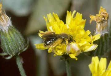 Andrena fulvago Copyright: Peter Harvey