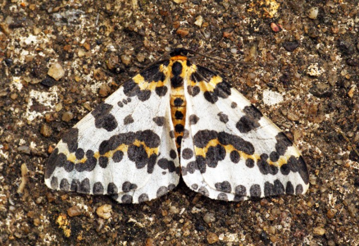 Magpie Moth Copyright: Ben Sale