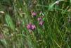 Dianthus armeria Copyright: Peter Harvey