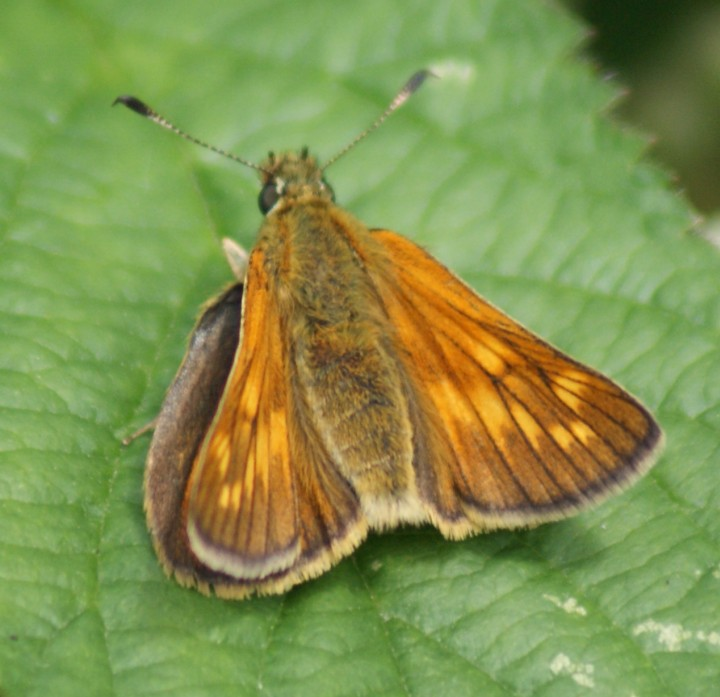 Large Skipper - female Copyright: Robert Smith