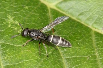 Microdynerus exilis 2 Copyright: P.R. Harvey