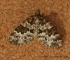 Broken-barred Carpet  Electrophaes corylata Copyright: Graham Ekins