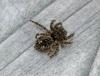 Sitticus pubescens 2 Copyright: Graham Ekins