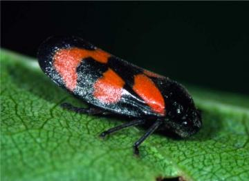 Cercopis vulnerata-2 Copyright: Peter Harvey