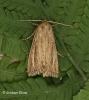 Nonagria typhae  Bulrush Wainscot 3 Copyright: Graham Ekins