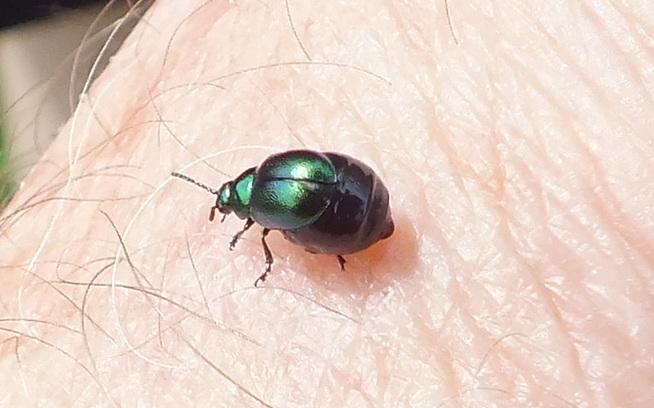 Gastrophysa viridula Copyright: Peter Pearson