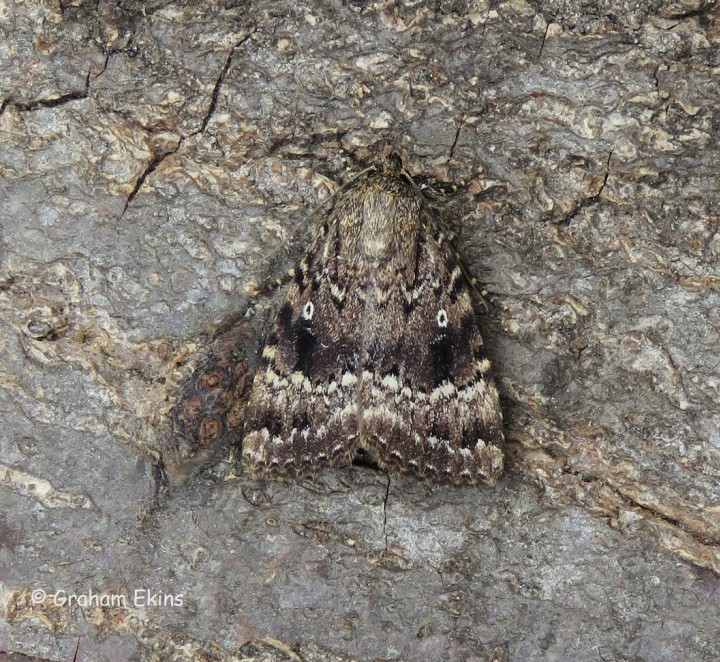 Amphipyra pyramidea Copper Underwing Copyright: Graham Ekins