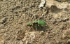 Green tiger beetles mating Copyright: Sue Grayston