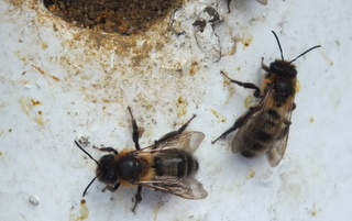 Bee 1 Copyright: Peter Pearson