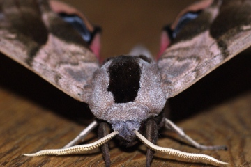 Eyed Hawk-moth 3 Copyright: Ben Sale