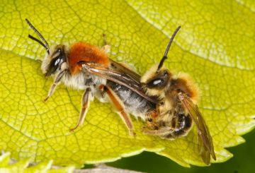 Andrena haemorrhoa mating pair Copyright: Peter Harvey