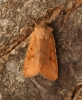 Beaded Chestnut  Agrochola lychnidis  2 Copyright: Graham Ekins