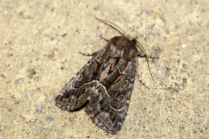 Straw Underwing Copyright: Ben Sale