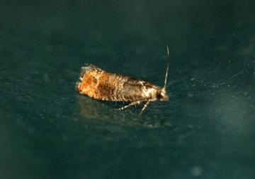 Pine Leaf-mining Moth (Clavigesta purdeyi) Copyright: Ben Sale