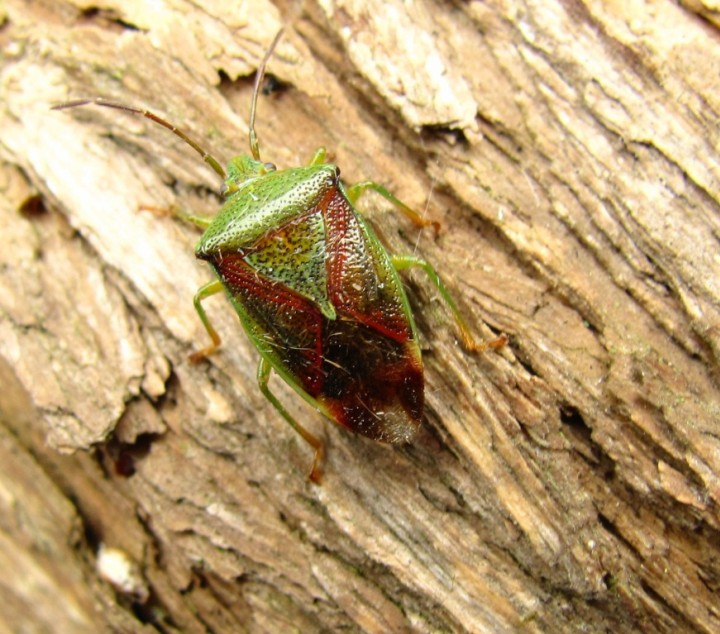 Birch Shield Bug Copyright: Graham Smith