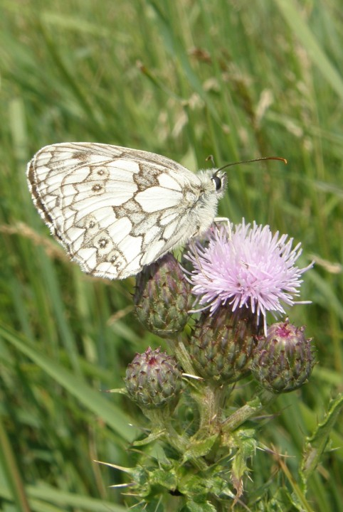 Marbled on Thistle Copyright: Sue Grayston