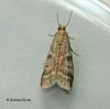 Ephesta unicolorella ssp woodiella 2 Copyright: Graham Ekins