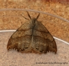 Scalloped Hook-tip Falcaria lacertinaria 1 Copyright: Graham Ekins