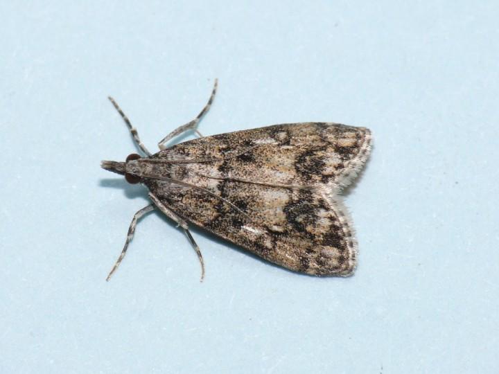 Dipleurina lacustrata. Copyright: Peter Furze