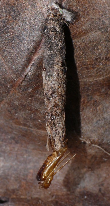 Male Taleporia tubulosa larval case after moth emergence Copyright: Peter Furze